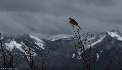 Gray Jay Overlooking the Cascades