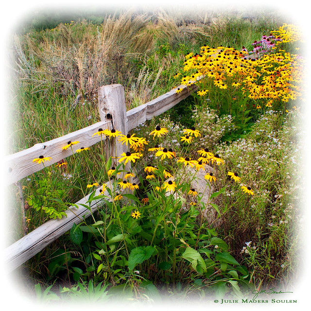 A beautiful bunch of black eyed susan flowers are nestled next to a rustic garden fence.