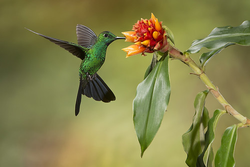 Male Green-crowned Brilliant feeding on an Orange Ginger Flower by Jeff Dyck