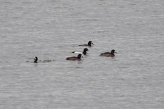 Greater Scaup, Maryland