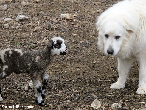 Curious little lambs (7) - Helga's twin boy inspecting LGD Daisy - FarmgirlFare.com