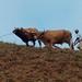 Arrando con la yunta - plowing with oxen; cerca de San Miguel Talea de Castro, Districto Villa Alta, Región Sierra Juárez, Oaxaca, Mexico por Lon&Queta