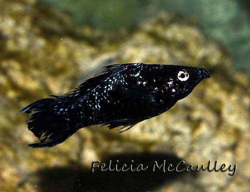Saltwater Sailfin Molly