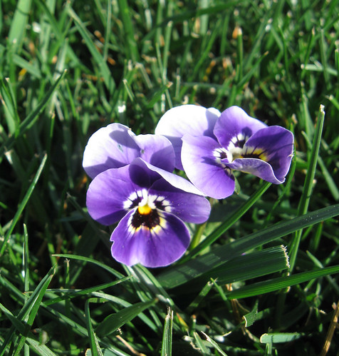 Viola in lawn