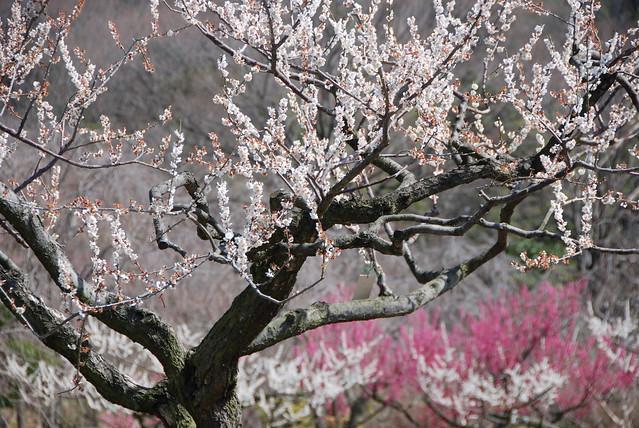 plum_garden_6