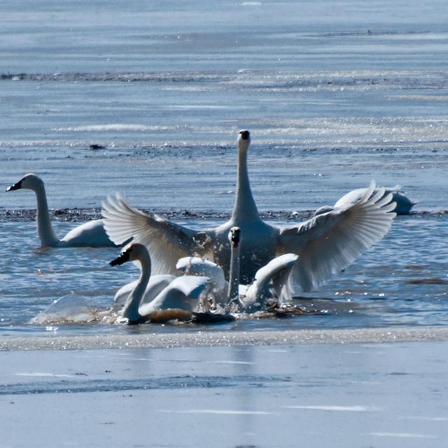 Tundra Swans-2377.jpg