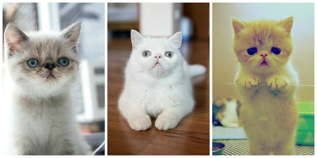 Exotic Shorthair Kittens