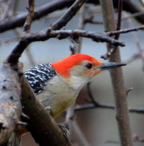 winter portrait nature birds woodpecker profile aves redbelliedwoodpecker redbellied mygearandme mygearandmepremium mygearandmebronze mygearandmesilver mygearandmegold mygearandmeplatinum jennypansing