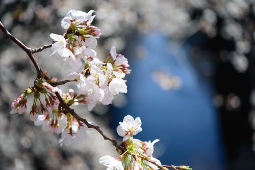 Sakura of Meguro Riv. 2013