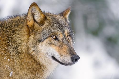 Nice snowy wolf portrait