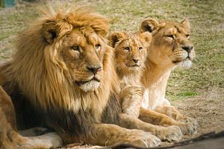 Familia de leones.