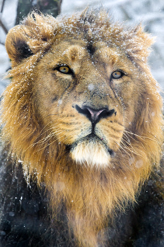 Portrait of a snowy radja by Tambako the Jaguar