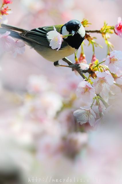 シジュウカラ [Parus minor]...
