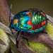 Harlequin bug instar (Explored) by bareego