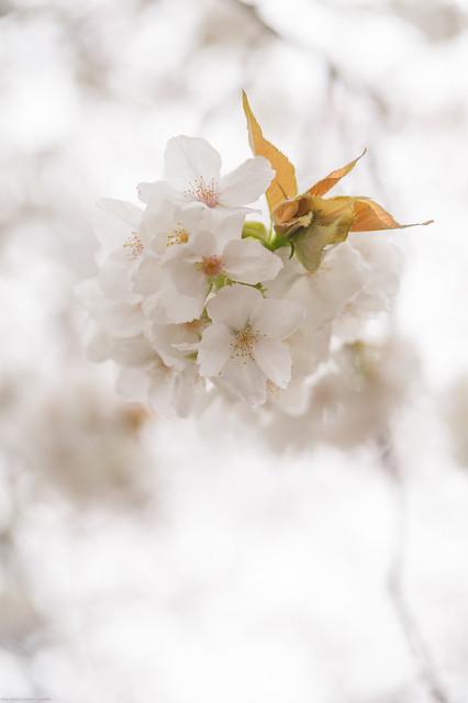 Sakura Closeup - 八重