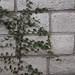 Garden Inventory: Ficus repans - 01