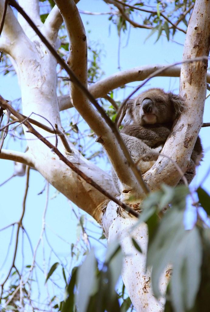 koala_effected