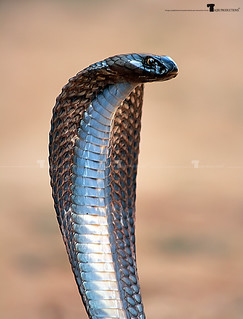 Pakistan Cobra