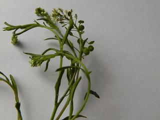 Lepidium virginicum=Passerage de Virginie-Crucifères