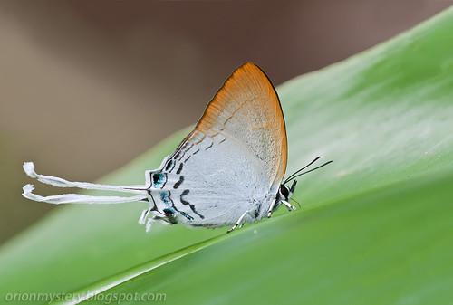 Common Imperial (Cheritra freja frigga) IMG_5799b copy