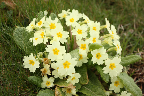 Clump of primroses
