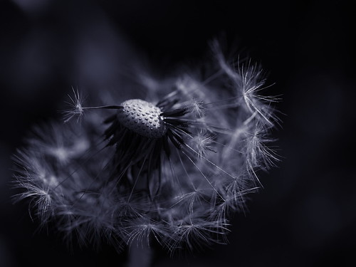 Broken Dandelion Clock