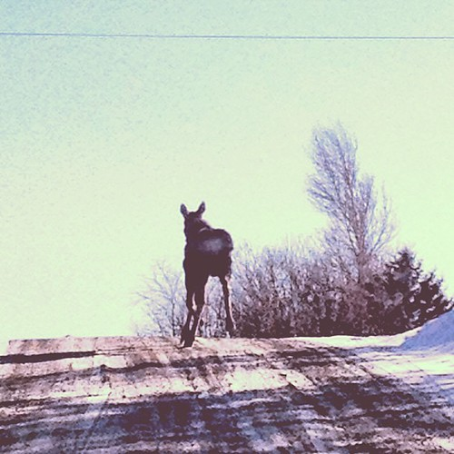 "That, my friends, would be the ass-end of a moose. This is the side you actually *want* to see because they like to charge things like cars when not participating on other local pastimes like saying ""wicked"" every time the opportunity presents itself. #me"
