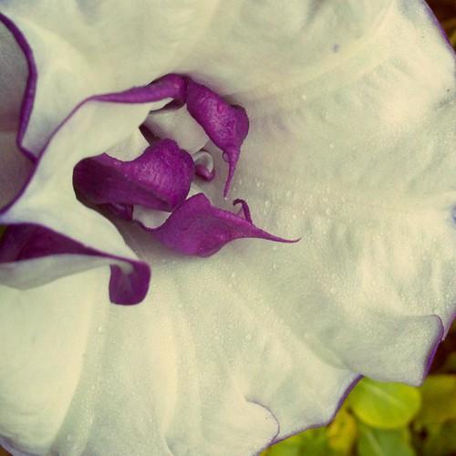 moonflower5