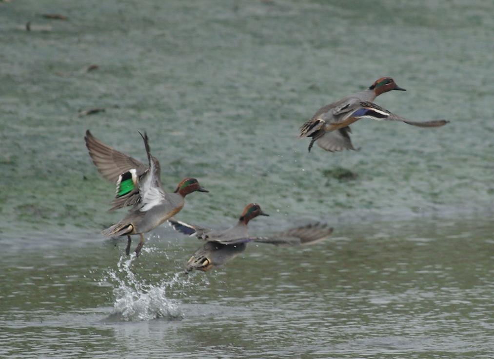 華江雁鴨公園的小水鴨