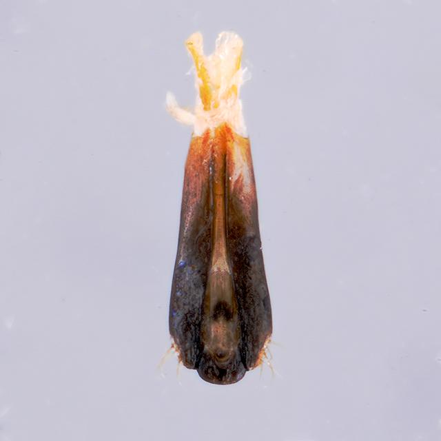 アオグロナガタマ近似種♂交尾器
