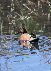 Northern Shoveler x Cinnamon Teal Hybrid?