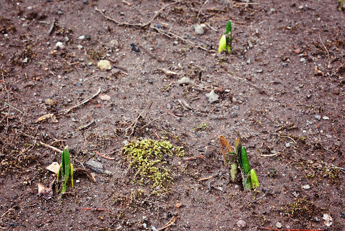 3.1.2013 late winter bulbs