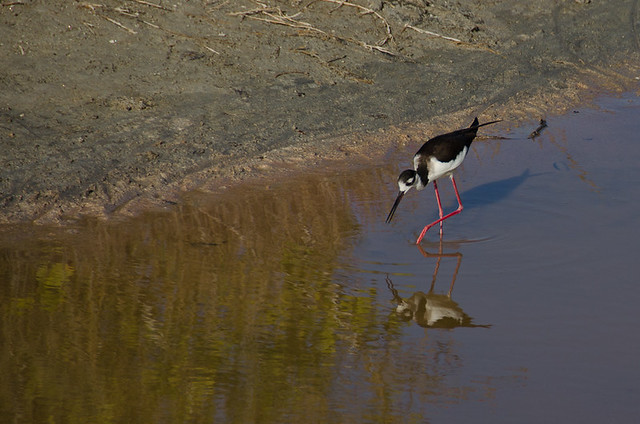 Galapagos Birds: Black-Necked Stilt