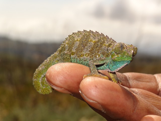 Chameleon on Mount Kenya