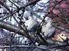 Galambpár / A pair of pigeons