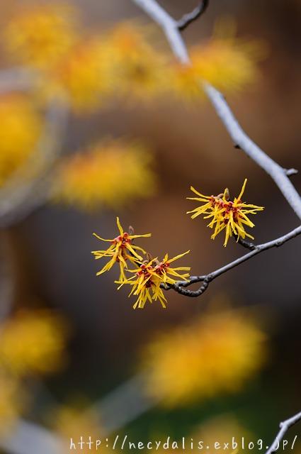 ニシキマンサク [Hamamelis japonica]...