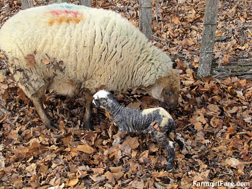 Helga cleaning up her newborn lambs (11) - FarmgirlFare.com
