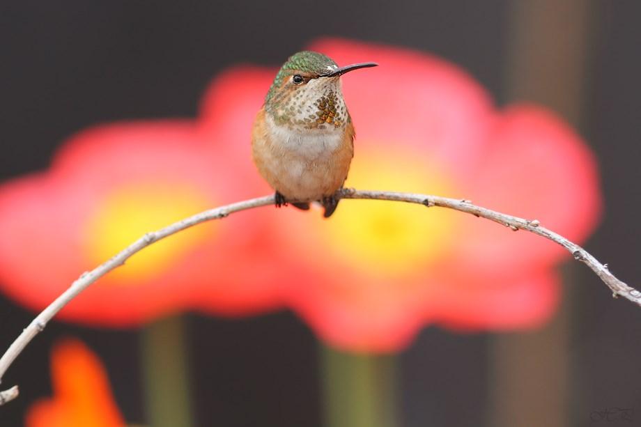 Allen's Hummingbird 032113-3