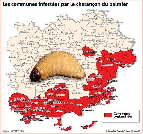 Rhynchophorus ferrugineus, le charançon du palmier, poursuit ses ravages dans le Var. Severe palm damages in the French Riviera area.