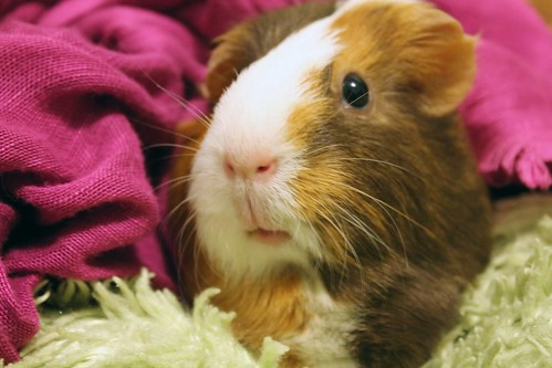 Sable the Guinea Pig by Ashley Cabrera