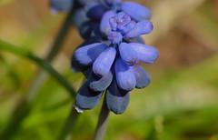 Starch Grape Hyacinth (Muscari neglectum)