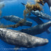 Sperm whales in formation with one defecating