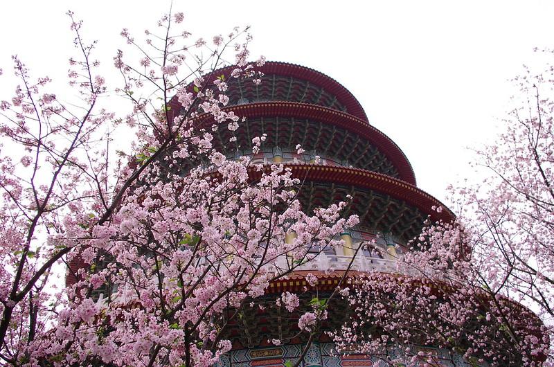 天元宮的櫻花可以準備來看嚕!!