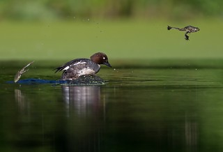 Duck chasing some frogs