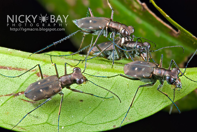 Tiger Beetles (Cicindelinae) - DSC_5201