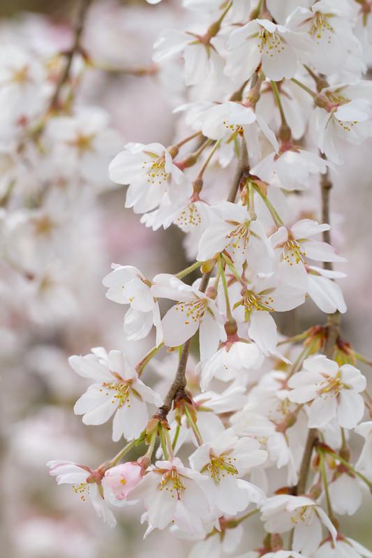 Sakura in Kyoto 2