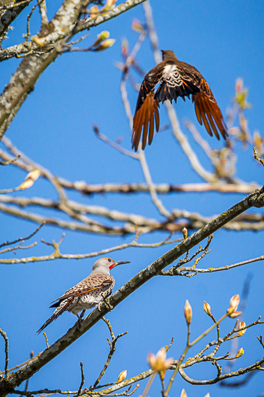 Northern Flicker mating chase