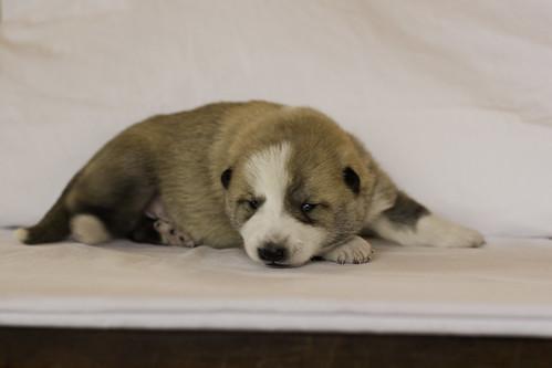 Ike-Kilbe-Pup2-Male(Day 13)-14