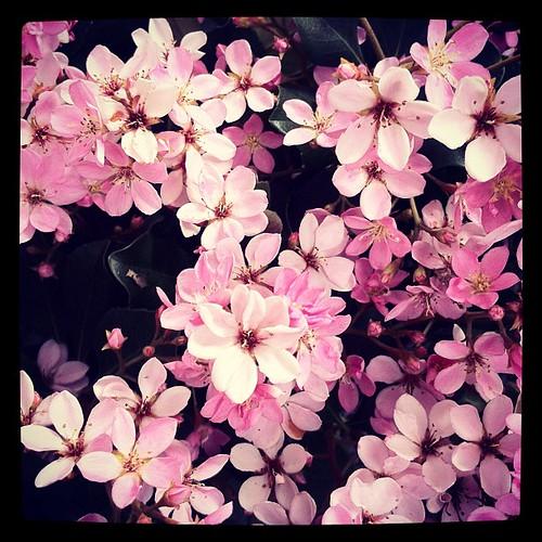 Rhapeolepis flowers