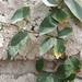 Garden Inventory: Ficus repans - 05